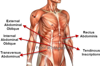 Photo credited to http://pulpbits.net/4-abdominal-muscle-anatomy-diagram/oblique-abdominals-function/