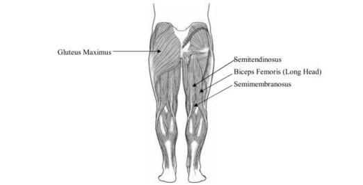 Hip Extensors -The Hip Extensor muscles are located in the buttocks region of the body and posterior thigh. There are four primary muscles in this region and their names are the Gluteus Maximus, Semimembranosus, Semitendinosus and Biceps Femoris Long Head.