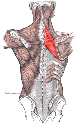 Photo credited tp https://en.wikipedia.org/wiki/Rhomboid_muscles
