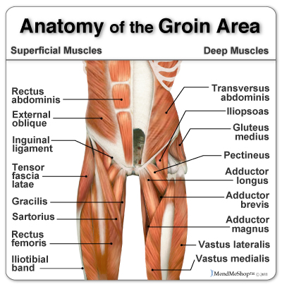 Where is our groins? Groins consist of Adductor brevis ,Adductor longus,Adductor magnus,Adductor minimus , pectineus,gracilis and Obturator externus and are also part of the medial compartment of thigh.